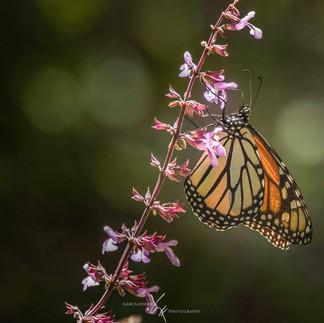Mariposa Monarca Michoacán Garciaferro
