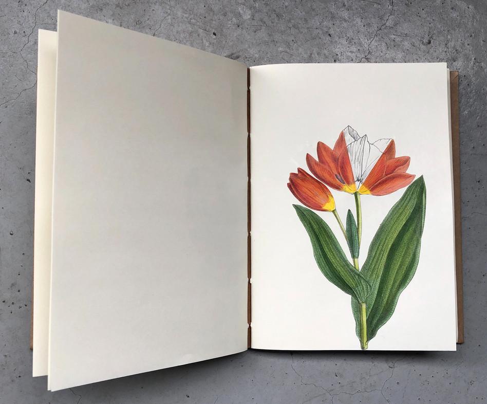 tulips, fanned