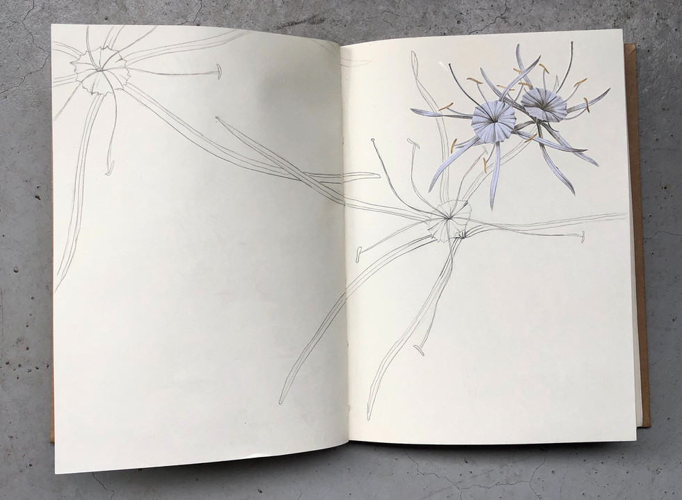 spider lilies, reproduced
