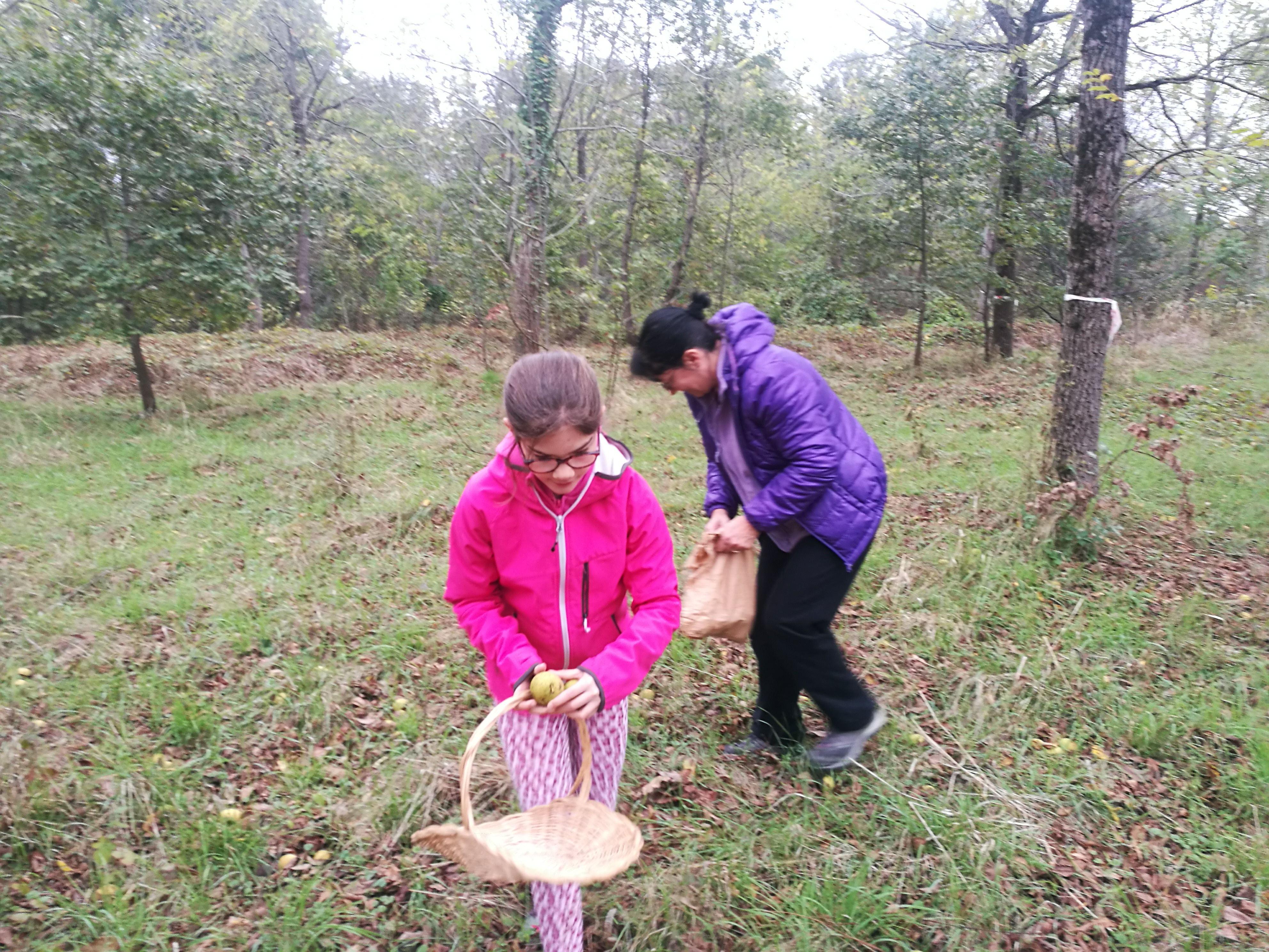Recolter des noix sauvages dans la forêt