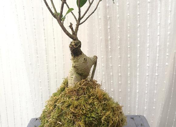 Cadeau Noël en Kokedama N0. 4 Ficus Ginseng