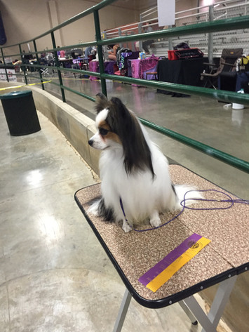 GCH Gold Crown's The Lion King