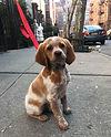 Hudson's UWS puppy walk