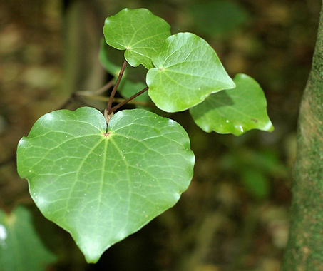 Photo of Kawakawa leaves