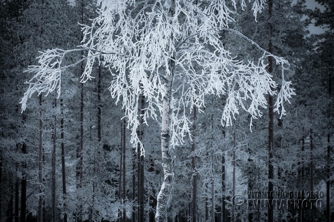 Lace Birch • Särna, Dalarna, Sweden, January 2020