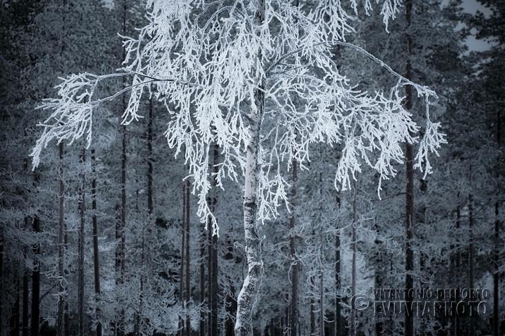 Lace Birch • Särna, Dalarna, Sweden, January 2020