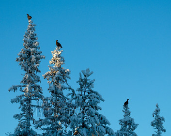 Black Grouses • Fulufjället National Park