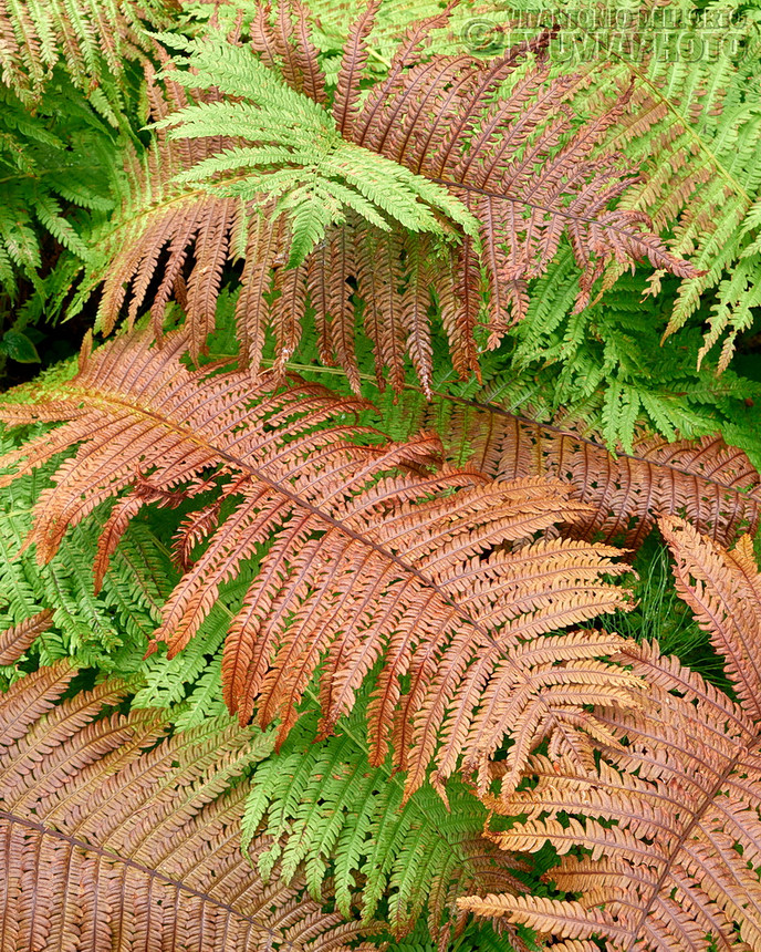 United Colours of Ferns (Ostrich Ferns • Göljån, Fulufjället N.P., Dalarna, Sweden, August 2019)