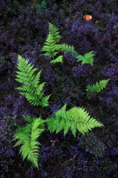 Autumn Carpets /The Purple One  (Blueberry Field and Ferns• Fulufjället National Park, Dalarna, Sweden, September 2018)