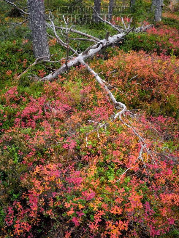 Last Colors Don't Last Berries Mixture • Särna, Dalarna, Sweden, October 2019