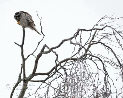 Hawk Owl cleaning its Claws