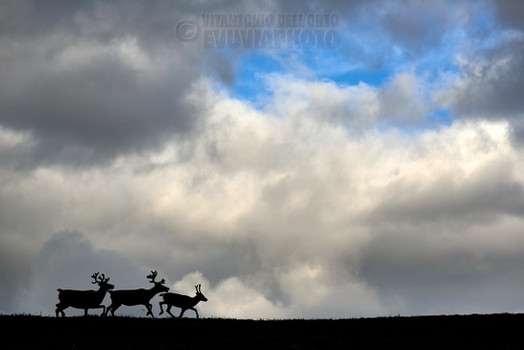 Reindeer and Sky • Nipfjället Nature Reserve