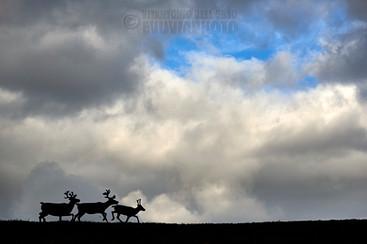 Reindeer in the Sky (Städjan-Nipfjället NR, Dalarna, Sweden, September 2019)