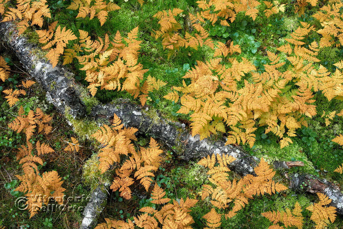 Autumn Carpets /The Golden One (Common Oak Fern • Fulufjället National Park, Dalarna, Sweden, September 2018)