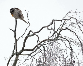Mani Pedi Clawi (Hawk Owl • Särna, Dalarna, Sweden, February 2019)