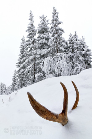 Reindeer Antler in the Snow