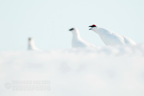 Ptarmigan Grouses in Spring • Nipfjället Nature Reserve