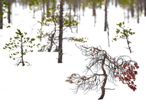 Red as Dead (Särna, Dalarna, Sweden, March 2019)