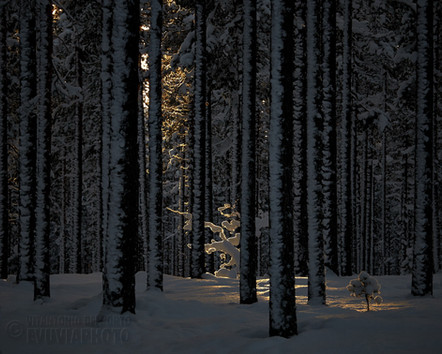 Winter Light in the Forest