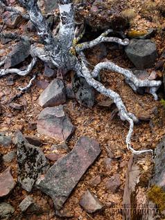 Resilient Birch Fjätfallen • Särna, Dalarna, Sweden, April 2020