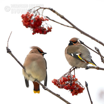 Waxwings and Rowan Berries