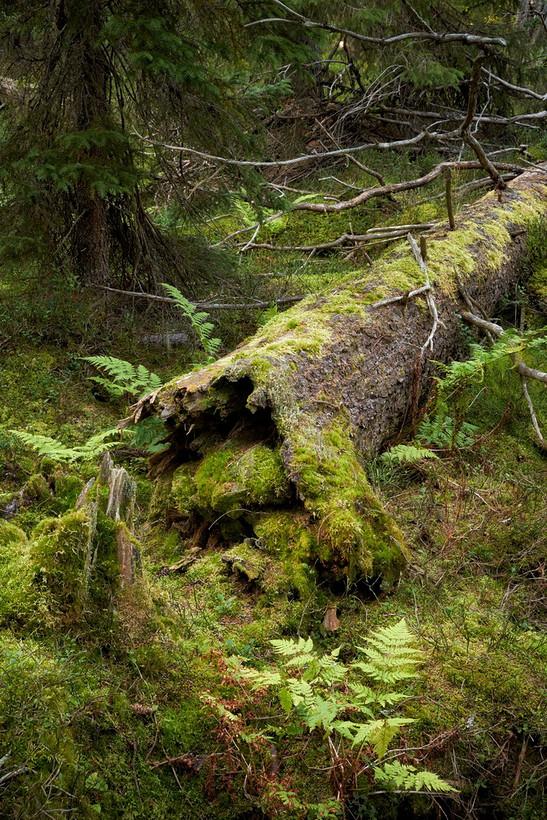 Old Forest (Fulufjället National Park, Dalarna, Sweden, August 2019)