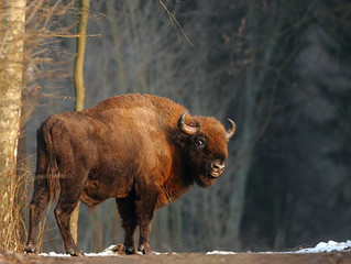 The Bison Story