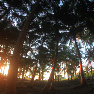 Coconut canopy Sunset in the Camp