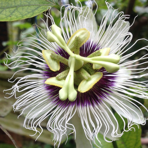 Passion Fruit flower on the vine
