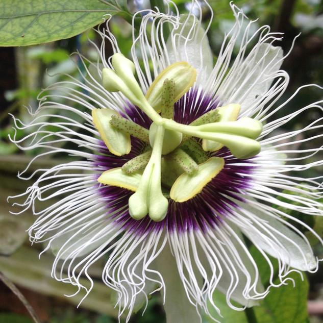 Passion Fruit flower on the vine