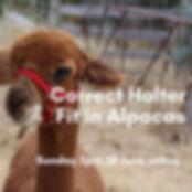 Correct halter fit in alpacas.jpg