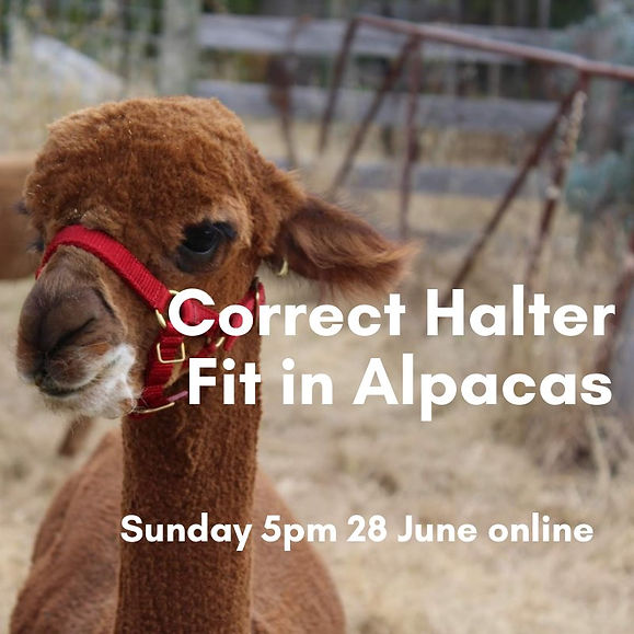 Correct halter fit in alpacas.jpg