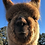 Thumbnail: 2021 Alpaca Calendar