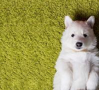 renew carpet care carpet cleaning Edmonton