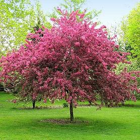 Prairifire_Crabapple_tree_1_BB_grande.jp
