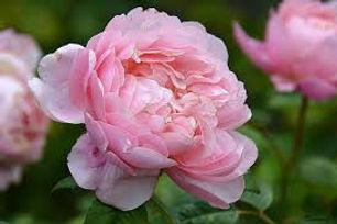 Alnwick Rose 3.jpg