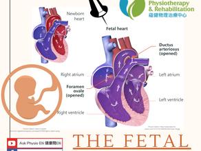 The Fetal Heart