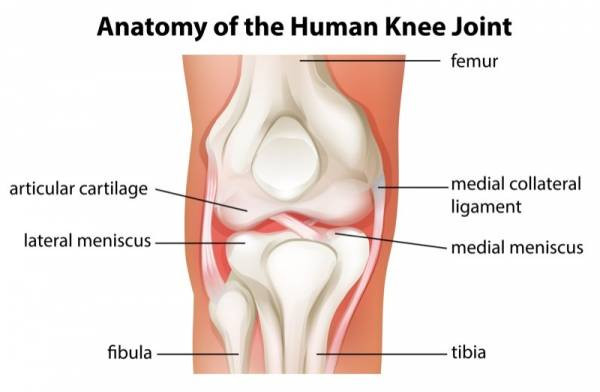 anatomy of the human knee joint