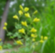 Baptisia (Wild Indigo)
