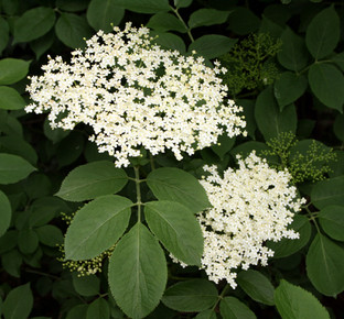 Elder Flowers (Red Elder)