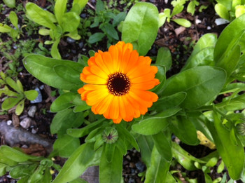 Calendula (Marigold)