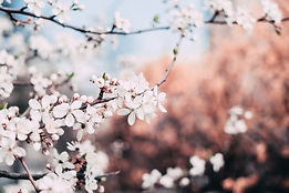 close-up-photography-of-cherry-blossoms-