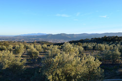 Notre oliveraie à côté du gîte