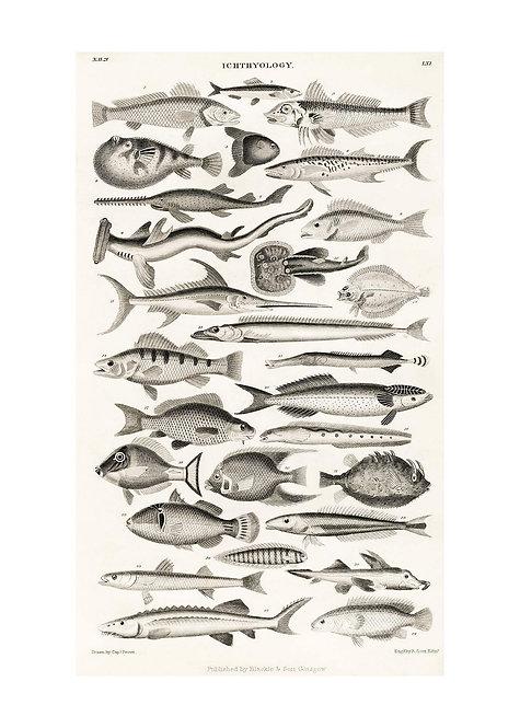 Fish Chart Vintage Antique Print