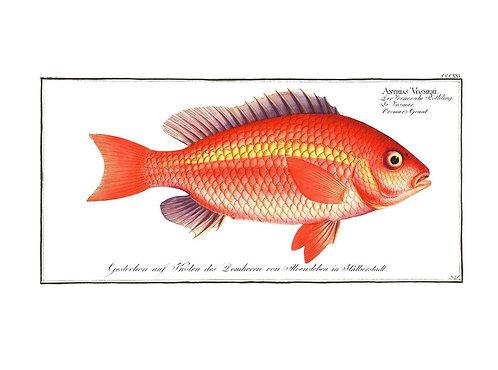 Goldfish Antique Vintage Print