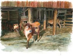 calves in barn