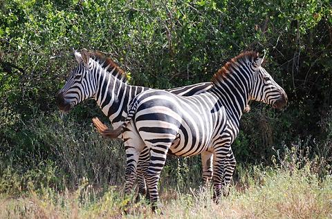 zebres.PNG