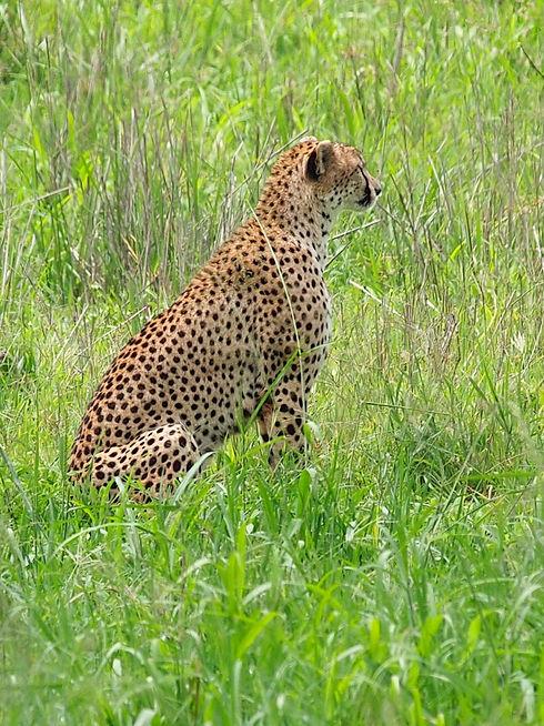 Cheetah_Tarangire_National_Park_(2015).j
