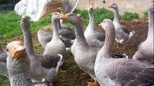 Grippe aviaire :  Les conseillers départementaux dans le vif du sujet !