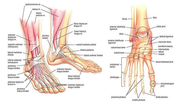 Muscles of feet.jpg